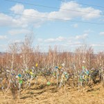 Pray flags tied to bushes right outside Ivolginsky territory.