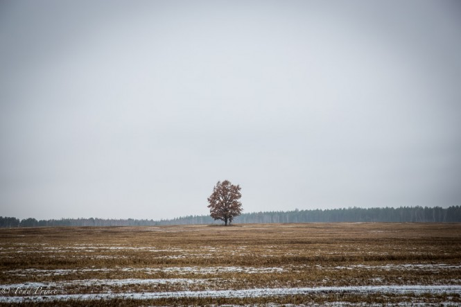 A tree stands in the middle of an empty field in Kursk region.