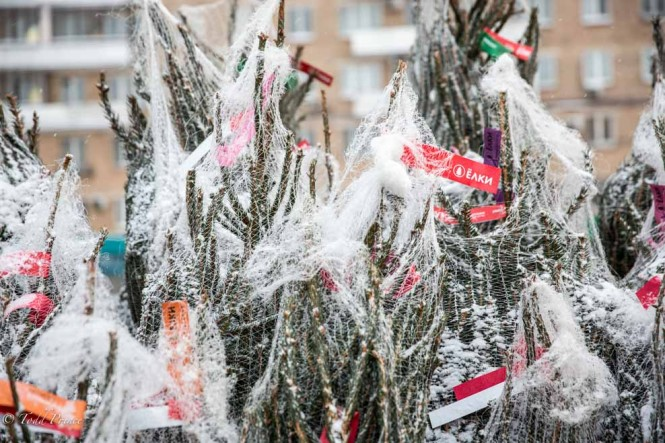 A close up of the New Year's trees on sale in Moscow.